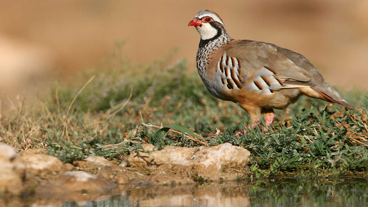 Chukar Hunting at Morees Preserve