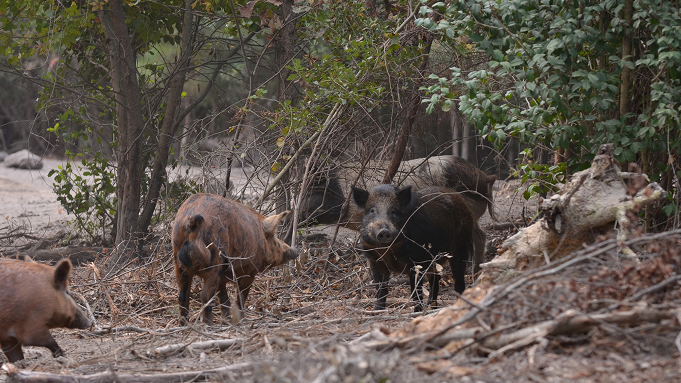 Wild Boar Hunting at Morees Preserve